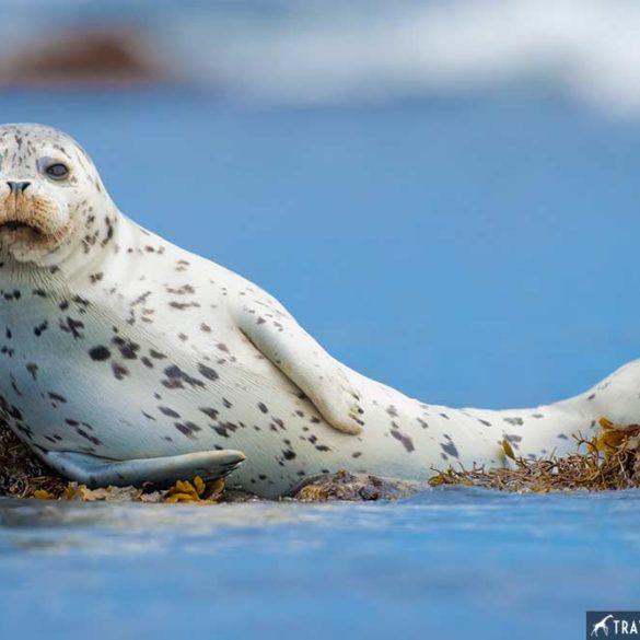 Harbor Seal, Marine mammal photos, California