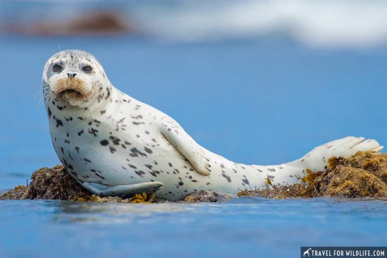 Harbor Seal, Marine mammal photos, California