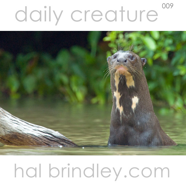 Giant Otter (Pteronura brasiliensis) Is it really a giant? Yes! This endangered species is the longest member of the mustelid family (which includes wolverines, badgers and weasels) and can grow up to 6 feet long! Photographed in the Pantanal, Brazil by Hal Brindley.