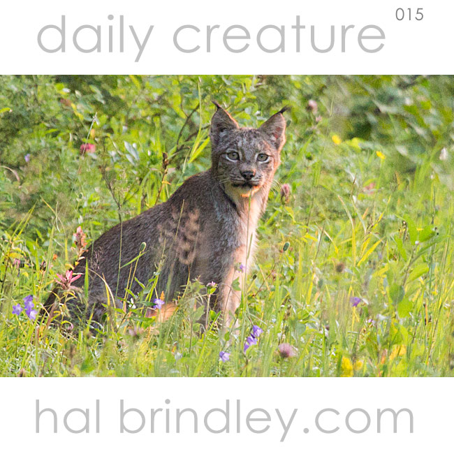 Daily Creature 15: Canada Lynx (Lynx canadensis) in Riding Mountain National Park, Manitoba, Canada. Photo by Hal Brindley.com