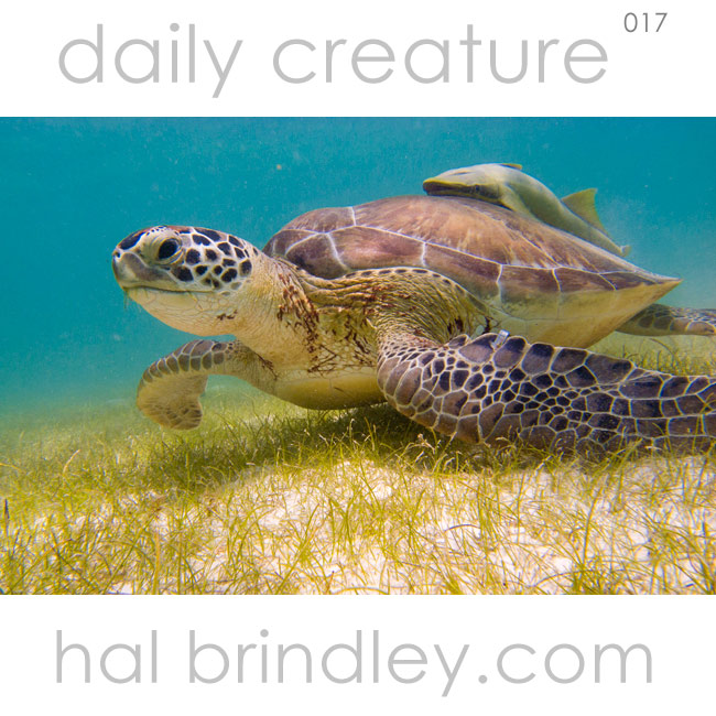 Green Sea Turtle (Chelonia mydas) eating sea grass beds in the Bay of Akumal in Mexico. The hitchhiker on its back is a remora.