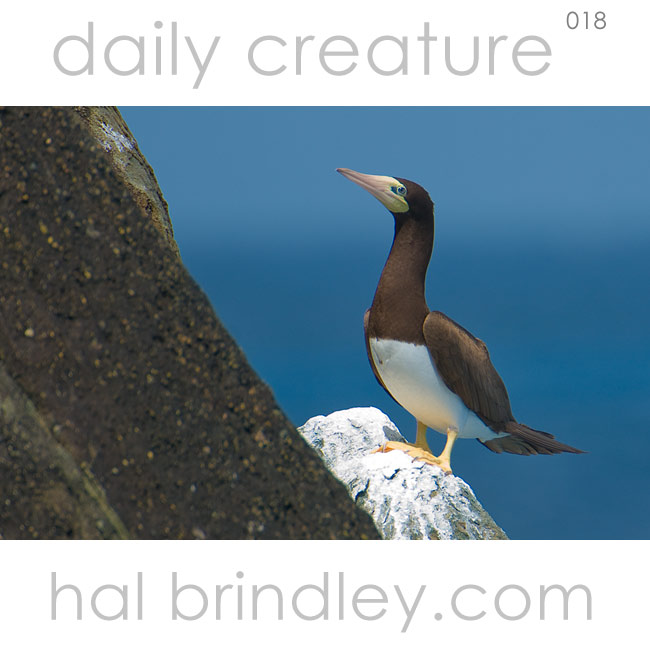 Brown Booby (Sula leucogaster) Brewers Bay, Tortola, British Virgin Islands. Photo by Hal Brindley