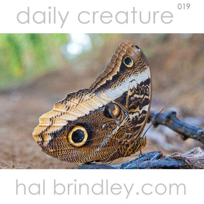 Owl Butterfly (Caligo spp.) feeding on rotten banana in Cerro Punta, Chiriqui, Panama. Photo by Hal Brindley