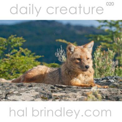 Culpeo Fox (Lycalopex culpaeus) (also Pseualopex culpaeus, Dusicyon culpaeus). Tierra Del Fuego National Park, Argentina. photo by Hal Brindley .com