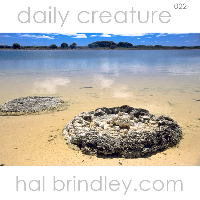 Stromatolites in Hamelin Pool, Shark Bay, Australia. Photo by Hal Brindley