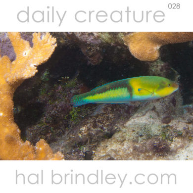 Yellowhead Wrasse supermale. (Halichoeres garnet) Coral Gardens, Hol Chan Marine Reserve near Ambergris Caye, Belize. Photo by Hal Brindley