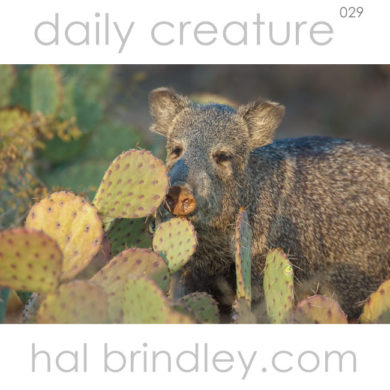 Collared Peccary (Dicotyles tajacu) and prickly pear cactus Sonora Desert near Tucson Arizona USA. Photo byt Hal Brindley