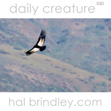 Andean Condor in flight. (Vultur gryphus) Photo by Hal Brindley. Andes Mountains, East of Santiago, Chile