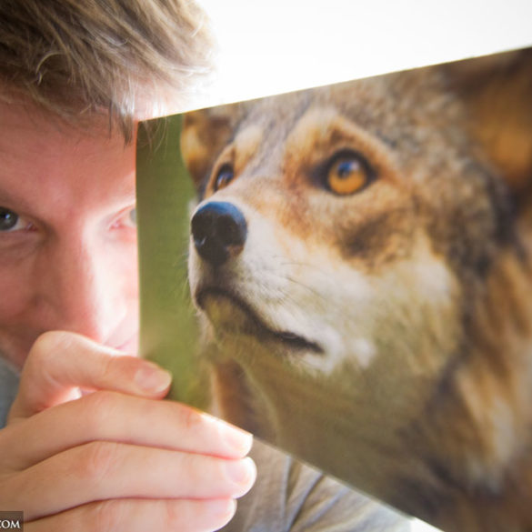 Hal Brindley with his red wolf photo on a Nature Conservancy event note card