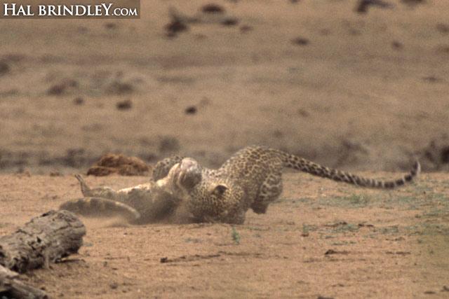 Leopard vs crocodile sequence image 2