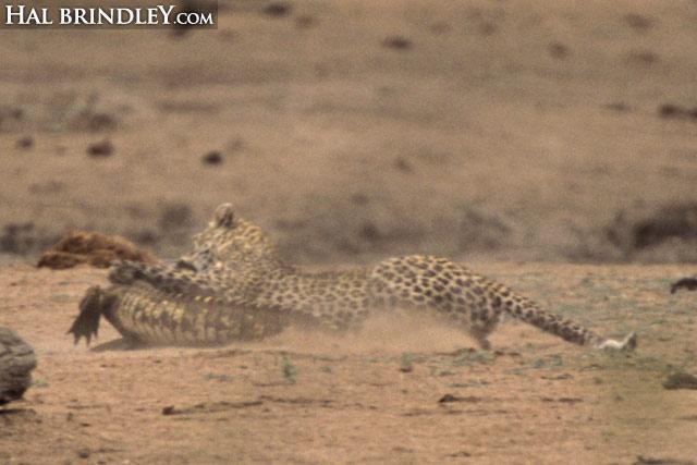 Leopard vs crocodile sequence image 3