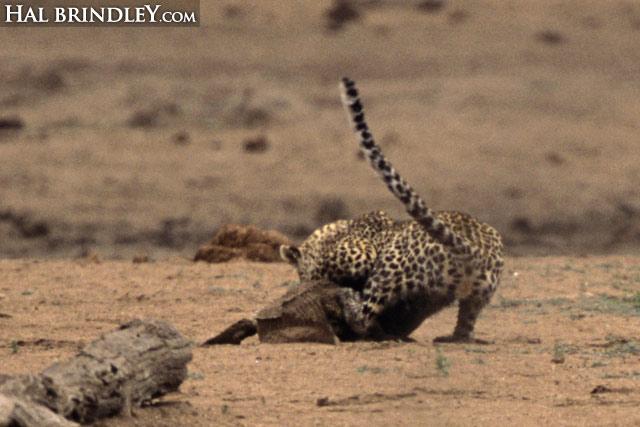 Leopard vs crocodile sequence image 5