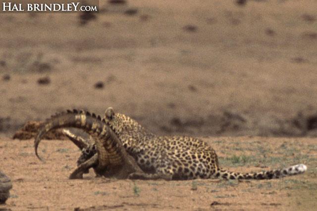 Leopard vs crocodile sequence image 6