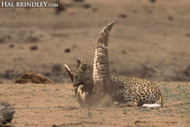 Leopard vs crocodile sequence image 7