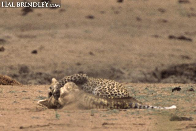 Leopard vs crocodile sequence image 8