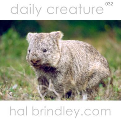 Common Wombat (Vombatus ursinus) Wilsons Promontory National Park, Victoria, Australia. Photo by Hal Brindley