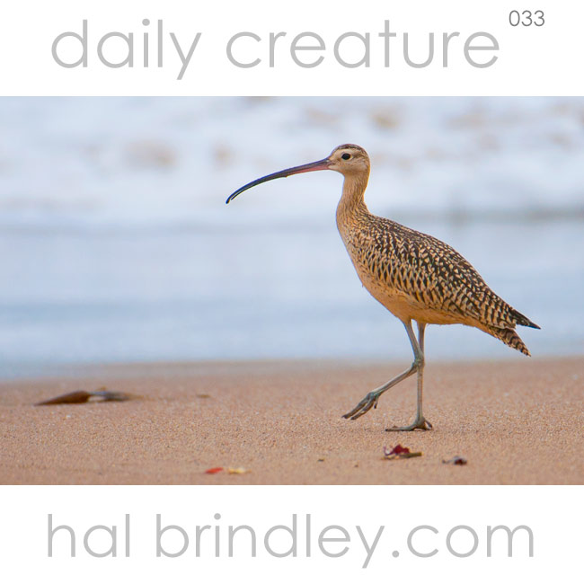 Long-billed Curlew (Numenius americanus) Montaña de Oro State Park, California, USA. Phot by Hal Brindley
