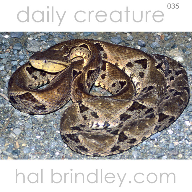 Terciopelo also known as Fer-de-Lance (Bothrops asper), on gravel road near Carate, Osa Peninsula, Costa Rica. Photo by Hal Brindley