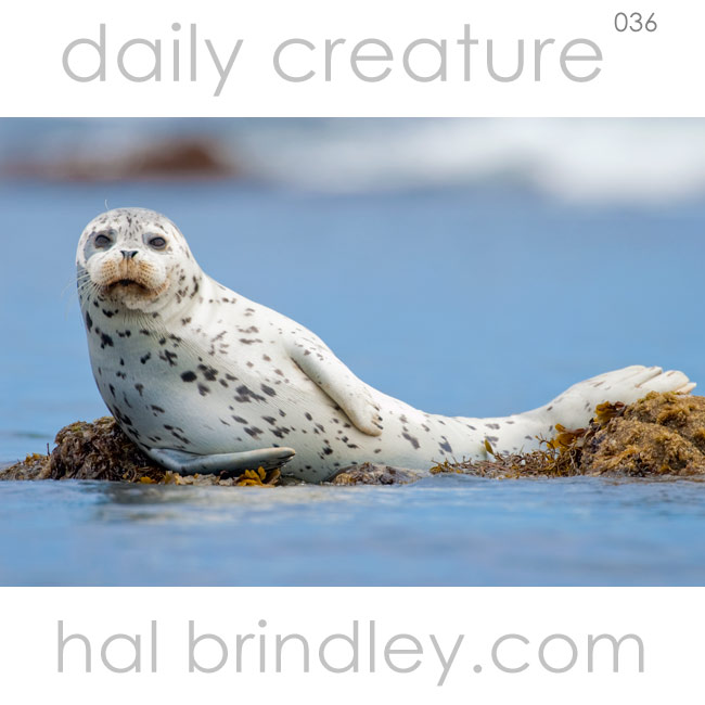Harbor Seal (Phoca vitulina) Monterey Bay, Monterey, California, USA. Photo by Hal Brindley