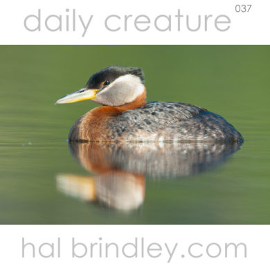 Red-necked Grebe (Podiceps grisegena) Beluga Lake, Homer, Alaska, USA. Photo by Hal Brindley