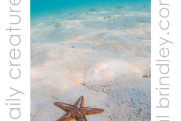 Astropecten Sea Star (Astropecten spp.) off Garden Key in the Dry Tortugas National Park, Florida Keys, USA. Photo by Hal Brindley