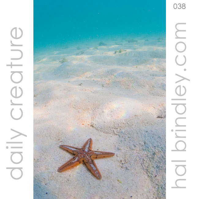 Astropecten Sea Star (Astropecten spp.) off Garden Key in the Dry Tortugas National Park, Florida Keys, USA. Photo by Hal Brindley