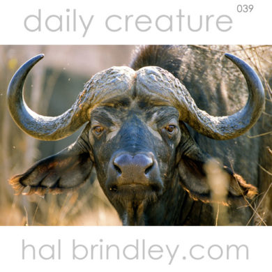 Cape Buffalo (Syncerus caffer) aka African Buffalo portrait in Kruger National Park, South Africa. Photo by Hal Brindley
