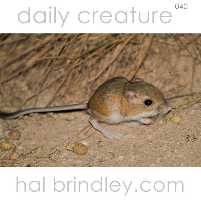 Ord's Kangaroo Rat (Dipodomys ordii) Photo taken in South Fork State Recreation Area, Nevada, USA. by Hal Brindley
