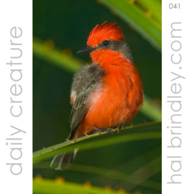 Male Vermilion Flycatcher (Pyrocephalus rubinus) Photo: Yamari Savannah Cabañas, Great Pine Savannahs, Brus Laguna, Honduras by Hal Brindley