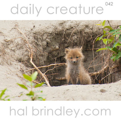 Red Fox kit (Vulpes vulpes) at the den in Denali State Park, Alaska, USA. Photo by Hal Brindley