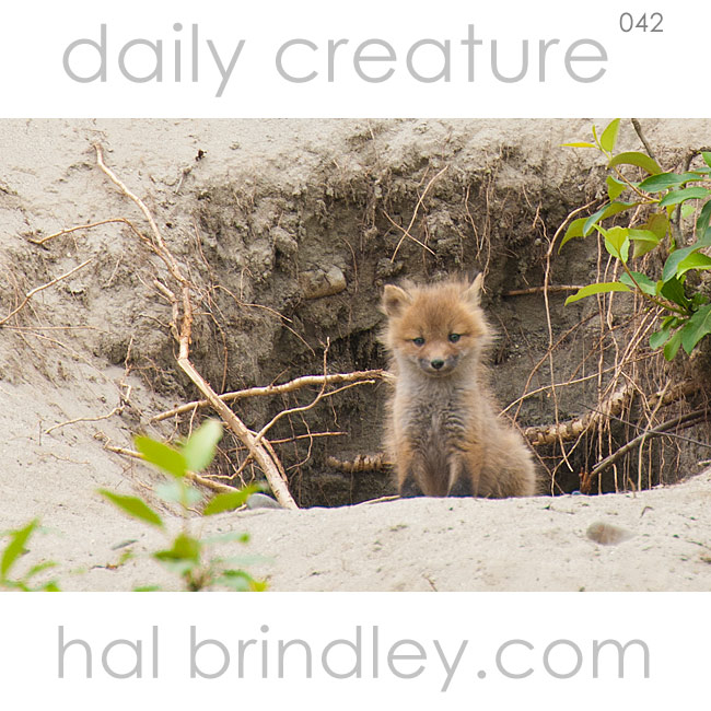 Red Fox kit (Vulpes vulpes) at the den in Denali State Park, Alaska, USA. Photo by Hal Brindley