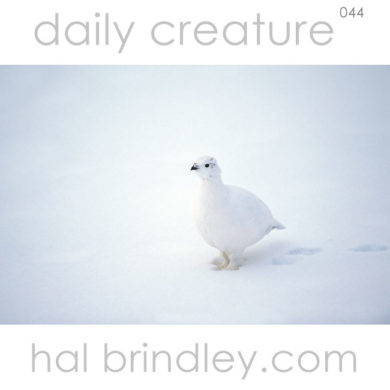 Willow Ptarmigan (Lagopus lagopus) in winter plumage. Churchill, Manitoba, Canada in late October. Photo by Hal Brindley
