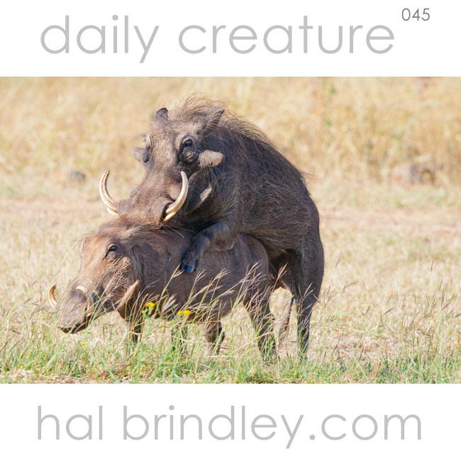 Warthogs mating. (Phacochoerus africanus) Near Mkuze, KwaZulu Natal, South Africa. Photo by Hal Brindley