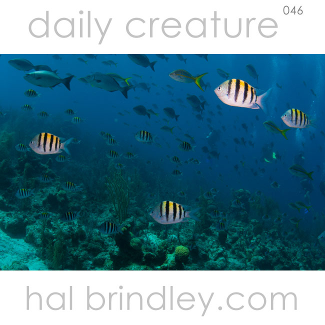 "Sergeant Major (Abudefduf saxatilis) at ""The Aquarium"" off Long Caye at Lighthouse Reef, Belize. Photo by Hal Brindley"