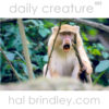 endangered Samango Monkey with rare light-colored pigmentation, mouth open (Cercopithecus mitis labiatus) iSimangaliso Wetland Park, South Africa. Photo by Hal Brindley