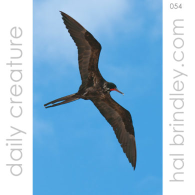 male Magnificent Frigatebird (Fregata magnificens) flying over Caye Caulker, Belize. Photo by Hal Brindley