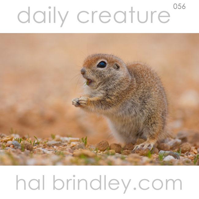 Round-tailed Ground Squirrel (Spermophilus tereticaudus) Sonora Desert near Tucson Arizona USA. Photo by Hal Brindley