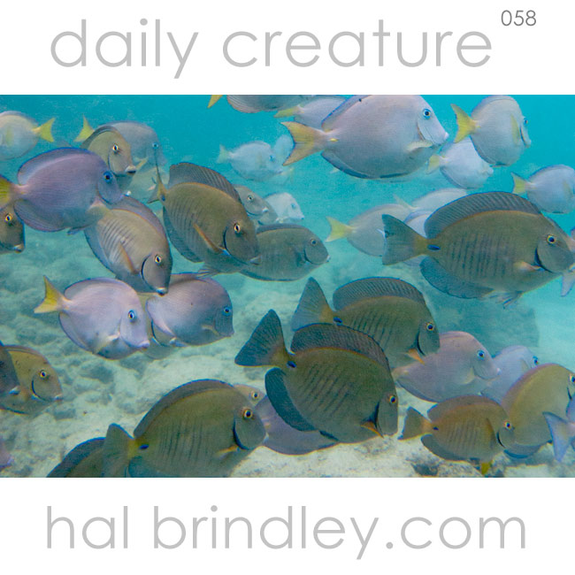 Doctorfish Tang and Blue Tang (Acanthurus chirurgus) near Tortola in the British Virgin Islands. Photo by Hal Brindley