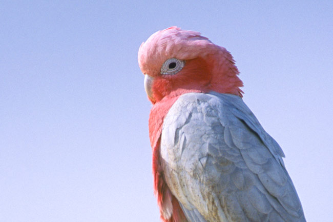 male Galah (Eolophus roseicapillus roseicapillus) Also known as the Rose-breasted Cockatoo perched on the Pinnacles in Nambung National Park, Western Australia. Photo by Hal Brindley