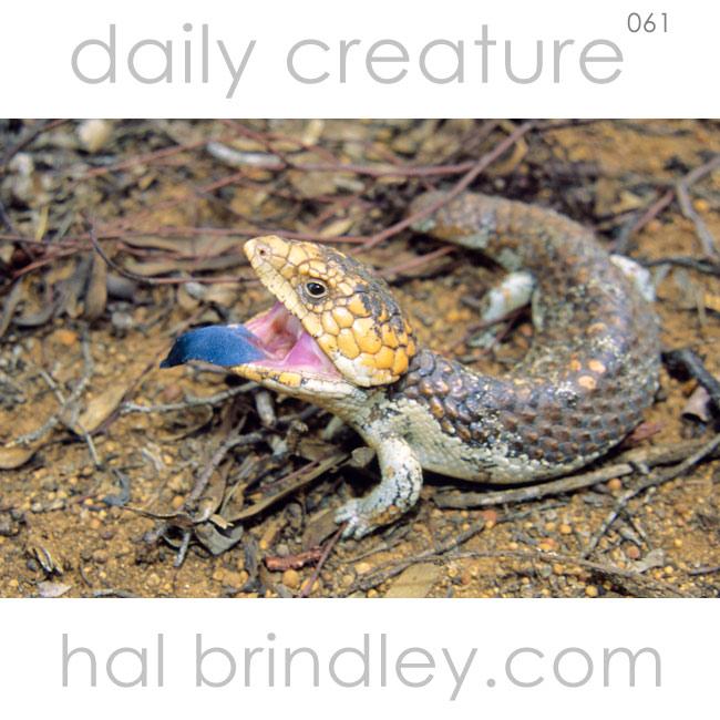 Shingleback Skink (Trachydosaurus rugosus) in Dryandra Woodland, SW Australia.