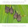 Tent-making Bat (Uroderma bilobatum) next to Luna Lodge in Carate, Osa Peninsula, Costa Rica.