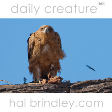 Tawny Eagle (Aquila rapax) plucking feathers from a brid in Kgalagadi Transfrontier Park, South Africa