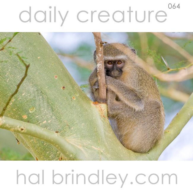 Vervet Monkey (Chlorocebus pygerythrus) near Mkuze in KwaZulu Natal, South Africa. Photo by Hal Brindley