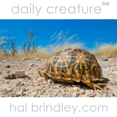 Kalahari Tent Tortoise. aka Serrated Tortoise. (Psammobates oculifer) Photographed in Central Kalahari Game Reserve, Botswana.