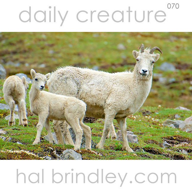 Dall Sheep (Ovis dalli) Photograph of Dall Sheep ewe and lamb taken in Denali National Park, Alaska, USA.