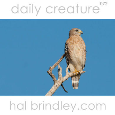 Red-Shouldered Hawk (Buteo lineatus) Photographed near the Flamingo Visitors Center in the Everglades National Park, Florida, USA.