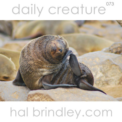 baby Cape Fur Seal (Arctocephalus pusillus) Photographed in Cape Cross, Namibia