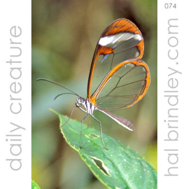 Glasswing Butterfly (Greta oto) Photographed at Spirogyra Butterfly Garden in San Jose, Costa Rica.