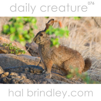 Jameson's Red Rock Hare (Pronolagus randensis) Photographed in Kruger National Park, South Africa (next to the