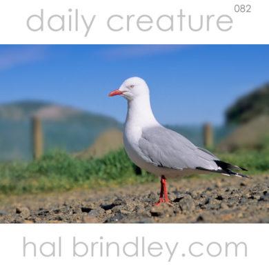 Red-billed gull. (Chroicocephalus scopulinus) Otago Peninsula, South Island, New Zealand.Formerly Silver Gull (Larus novaehollandiae)
